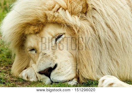 Male white lion lying down with his eyes closed
