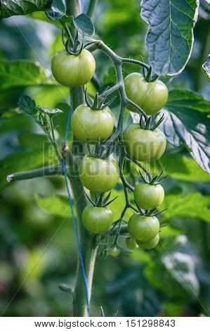 Immature tomato variety cherry tomatoes on the plant