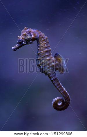 Short-snouted seahorse (Hippocampus hippocampus). Sea animal.