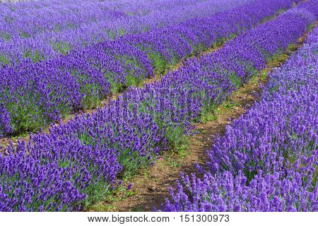 Lavander fields in Heacham lavander farm Great Britain. It remains England's premier lavender farm.