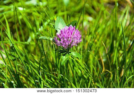 Clover Flower On Green Grass