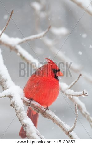 Northern Cardinal Perched On Snow Covered Branch