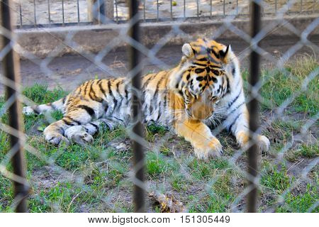 Tiger in a cage in a zoo