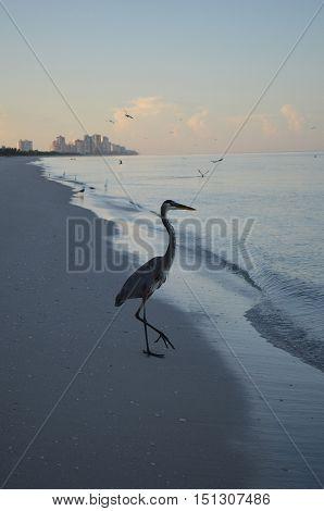 Great blue heron at dawn at the water's edge.