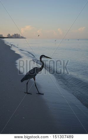 Great blue heron walking into the water.