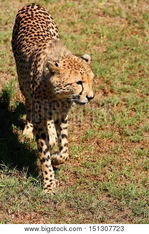 young Cheetah photographed from above walking on short grass