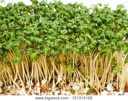 Watercress plants sprouting from seeds at extreme closeup