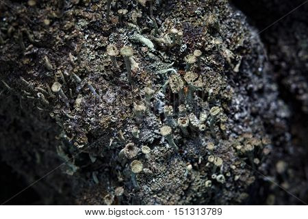 Beautiful lichen (Cladonia) on the birch bark