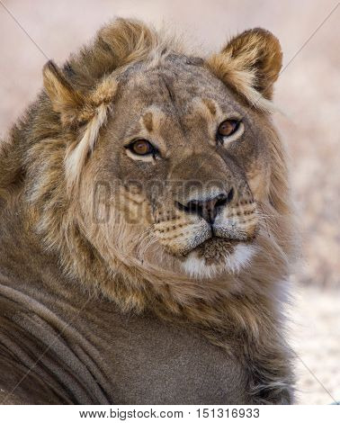 Portrait of a beautifull young male lion with eye contact