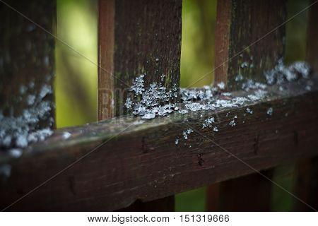 Lichen (parmelia sulcata) on the old wooden fence