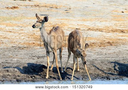 Two female kudu standing next to a waterhole in Hwange National Park