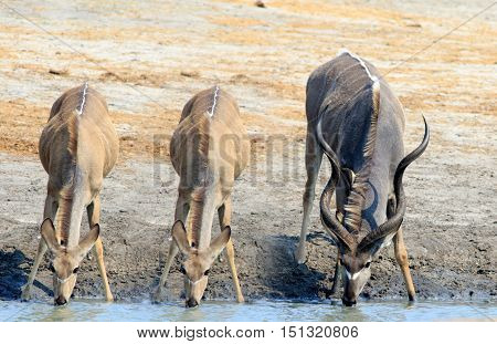 Three Kudu with heads down drinking from a waterhole