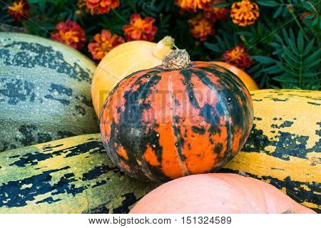 Pile of pumpkins in front of the flowerbed with marigolds.