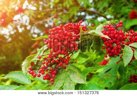 Red elderberry - closeup of elderberry on the branch under soft sunlight.