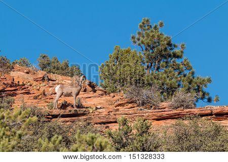 a desert bighorn sheep ram in zion national park