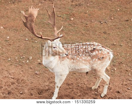 Young male fallow deer buck at park. Animals beauty in nature.