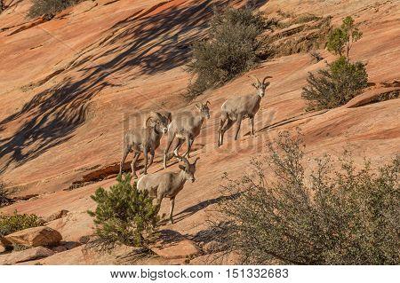 a small herd of desert bighorn sheep in the rut