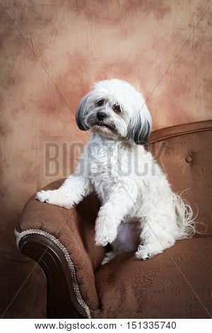 A fluffy white Havanese dog sitting up on the edge of a vintage loveseat
