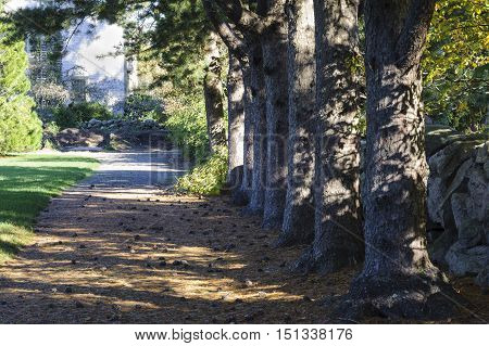 New Bedford Massachusetts USA - May 18 2016: Row of Korean Pines shade a dirt path at Haskell Public Gardens in New Bedford Massachusetts