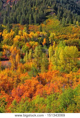 Canopy of autumn trees in rocky mountains