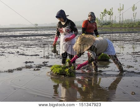 Gilan Province- North of IRAN-May 2 2015 Group of women ready to work on rice farm for planting new rice sprouts through the wet paddy field.
