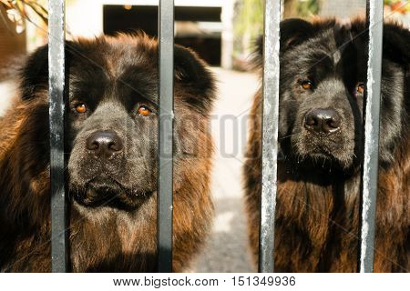 Two dogs look thru the metal gate