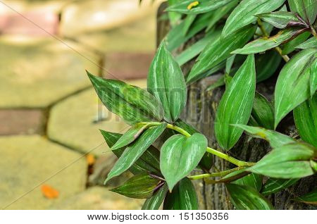 Close up beautiful wandering jew plant in garden