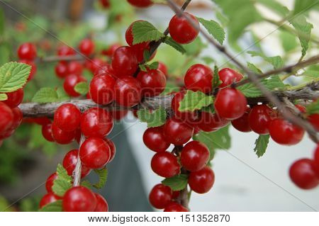 Ripe bush of the red berry cherry