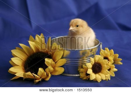 Portrait Of Baby Chick In Silver Washtub With Sunflowers On A Blue Background