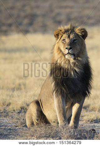 Portrait photo of a beatiful male lion