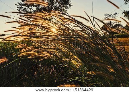 beautyful grass and sunset background in nature