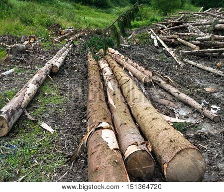 Timber harvesting. Piles of cut fir logs on the ground.