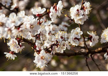 White flowers on the apricot tree branches.