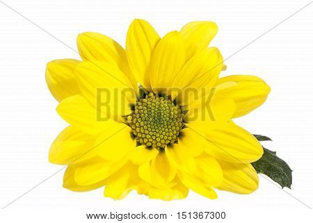 Flower of yellow marguerite (Leucanthemum vulgare) isolated on white background