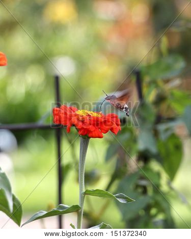 picture of a Sphingidae known as bee Hawk-moth enjoying the nectar of a gerbera. Hummingbird moth. Calibri moth.