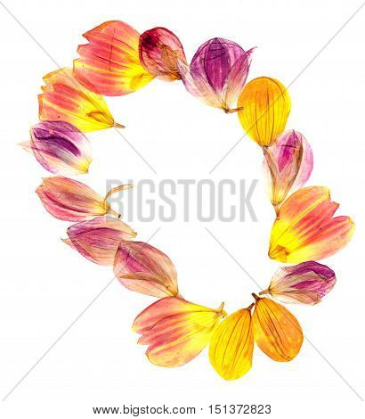 bright colored dry compressed dahlia petals spread out isolated on white