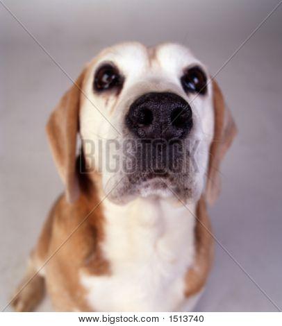 Beagle Sniffer Dog