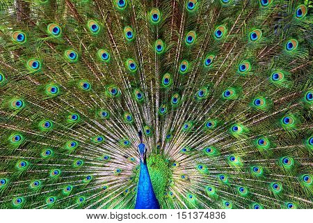 Peacock standing and showing off its feathers