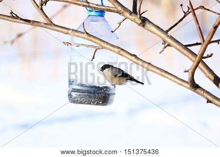 Nature, animals, fauna, birds, winter, feeder, bullfinches, Pyrrhula pyrrhula, songbird, the family of bullfinches, Pyrrhula family finches