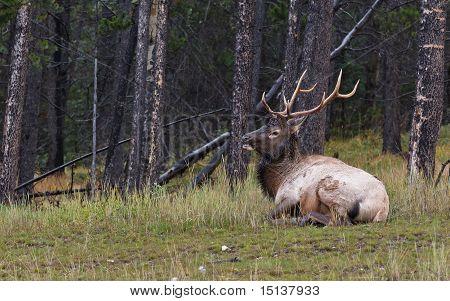 Bull Elk Resting In The Grass