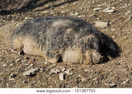 Wild boar in the mud in the warm summer sun lying.