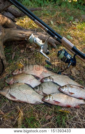 Pile Of The Common Bream Fish, Crucian Fish Or Carassius, Roach Fish On The Natural Background. Catc