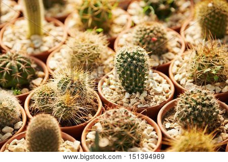 Many cacti with prickles for sale in a nursery