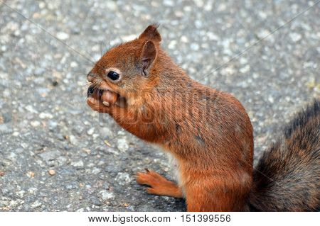 Greedy squirrel with two acorns in its mouth.