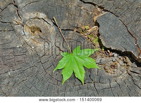 A close up of the green maple leaf on old tree cut.