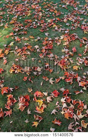 Background of Fall's colorful foliage on backyard lawn