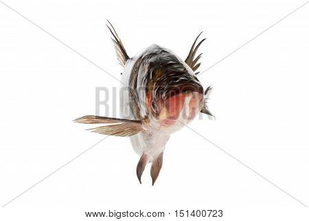 Fish silver carp floats close-up isolated on white background