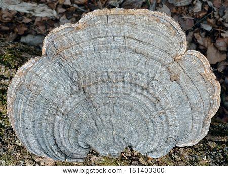 A close up of the mushroom (bracket-fungus) on dead tree.