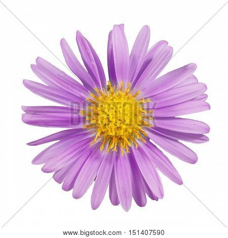 closeup beautiful purple flower of Michaelmas daisies (botanical name: Aster novi-belgii or Symphyotrichum novi-belgii) also known as New York asters isolated on white background