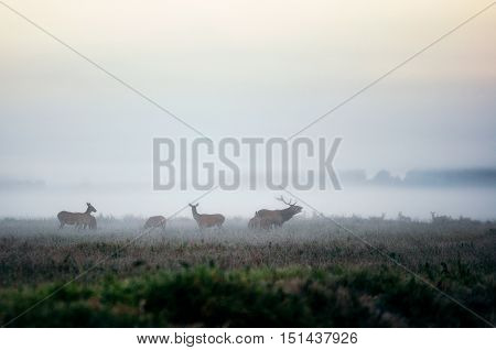 Red deer stag lures female deer. Herd of red deer on the misty field in the morning during the rut in Belarus